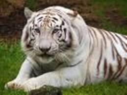 Tiger1images